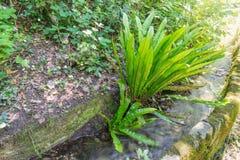 Scolopendrium di asplenium o scolopendrium del Phyllitis, Europa fotografia stock