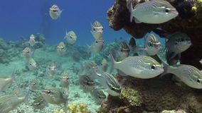 Scolopsis ghanam seabreams school of fish in coral relax underwater Red sea. Sweetlips Grunzer striped speckled. Amazing video about marine nature on stock footage