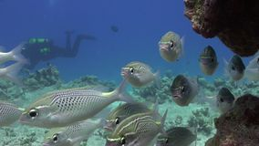 Scolopsis ghanam seabreams school of fish in coral relax underwater Red sea. Sweetlips Grunzer striped speckled. Amazing video about marine nature on stock video footage