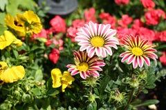 SColourful Striped Gazania Flowers in Full Bloom stock image