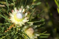 Scolymocephala Protea στοκ εικόνα με δικαίωμα ελεύθερης χρήσης