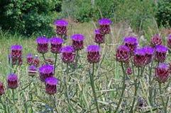 Scolymus Cynara, η οικογένεια Asteraceae αγκιναρών σφαιρών στο blume Στοκ εικόνα με δικαίωμα ελεύθερης χρήσης