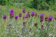 Scolymus Cynara, η οικογένεια Asteraceae αγκιναρών σφαιρών στο blume Στοκ Εικόνες