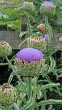 Scolymus Cynara φυτών αγκιναρών σφαιρών ανθίσματος Στοκ φωτογραφία με δικαίωμα ελεύθερης χρήσης