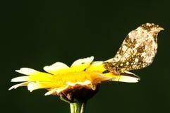 Scolymus de Anthocharis, mariposa en la flor Fotos de archivo libres de regalías