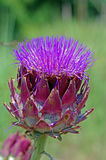 Scolymus do Cynara, o Asteraceae da família da alcachofra no blume Foto de Stock Royalty Free