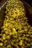 scomparto del segnalatore acustico che raccoglie colore giallo dei peperoni Fotografia Stock