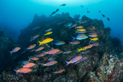Scool of fishes. Beautiful healthy coral reef with lots of fishes around. Batee Tokong . Pulau Weh , Indonesia Stock Images