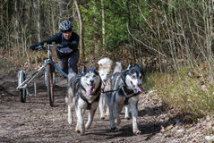 Scooter driver musher with huskies. Kaliningrad, Russia, March 26, 2017, local bikejoring and canicross championship. Scooter driver musher with huskies team Stock Image