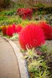 Scoparia rouge de Bassia Image stock