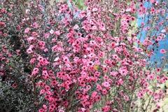 Scoparium del té Bush o de Leptospermum de Nueva Zelanda Fotografía de archivo libre de regalías