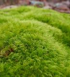 Scoparium Dicranum под деревьями Стоковое Фото
