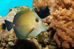 Scopas Tang in Aquarium. Scopas Tang or Twotone in Aquarium Stock Photo