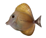 Scopas Tang or Twotone Tang, Zebrasoma scopas Stock Image