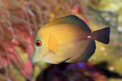 Scopas Tang Royalty Free Stock Photos