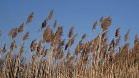 Scope di Reed che ondeggiano nel vento video d archivio