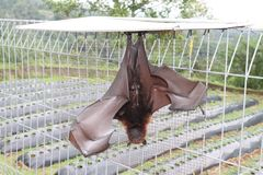 Scoperta del pipistrello gigante in Indonesia fotografie stock