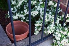 Scoppi delicati del fiore bianco e recinto nero del metallo fotografie stock