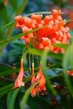 Scoppio arancio del fiore Fotografia Stock