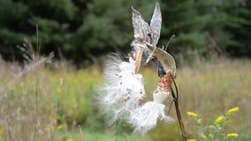 Scoppio dei baccelli del Milkweed per liberare i loro semi stock footage