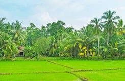 Scopra le aziende agricole dello Sri Lanka Immagini Stock