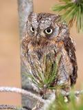 scops för 1 owl Royaltyfri Fotografi
