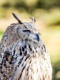 Scops-hibou eurasien observant pour la proie dans les bois chassant des oiseaux Photographie stock libre de droits