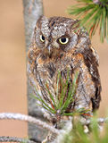 Scops owl 1. The scopes owl from private breeding royalty free stock photography