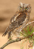 Scops-owl 2. This is the owl from private breeding Royalty Free Stock Photo