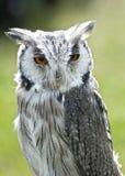 Scops Owl Stock Photography