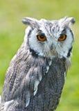 Scops Owl Royalty Free Stock Image