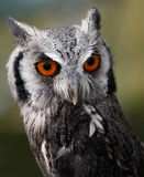 Scops Owl Royalty Free Stock Images