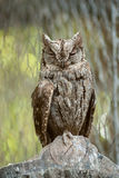 Scops owl Royalty Free Stock Photo