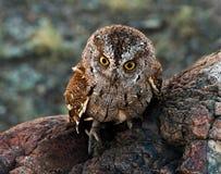 Scops owl Royaltyfri Fotografi