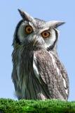 Scops Owl Royaltyfri Foto