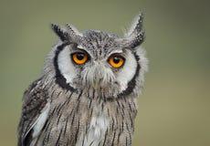 Scops owl Royalty Free Stock Photos