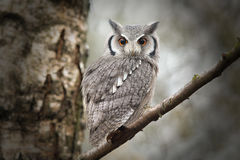 Scops owl Stock Image