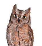 Scops owl Stock Photos