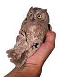 Scops owl held by his handler. Isolated on white Stock Photo