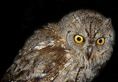 Scops Owl Stock Images