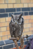 Scops owl Royalty Free Stock Photos