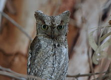 Scops Owls. Scops Owl at roost site,Kalloni,Lesvos stock photography
