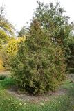 Scopulorum del juniperus nel giardino botanico Fotografie Stock