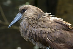 Scopus umbretta. The shape of the Hamerkop' s head with a curved bill and crest at the back is reminiscent of a hammer, hence its name stock photo