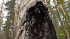 Scorched Dry Tree Trunk After Being Hit By Lightning. Lightning Consequences