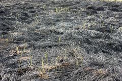 Scorched earth, spring fires. A field with burnt grass. Destruction of insects. Young grass grass stems royalty free stock photo