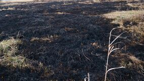 Scorched earth, spring prairie fires. Wheat field with burnt grass. The consequences destruction of insects. Burning landing with
