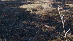 Scorched earth, spring prairie fires. Wheat field with burnt grass. The consequences destruction of insects. Burning