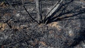 Scorched earth and tree trunks after a spring fire in forest. Black burnt field with fresh sprouts of new grass. Dead