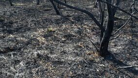 Scorched earth and tree trunks after a spring fire in forest. Black burnt field with fresh sprouts of new grass. Dead planting wit